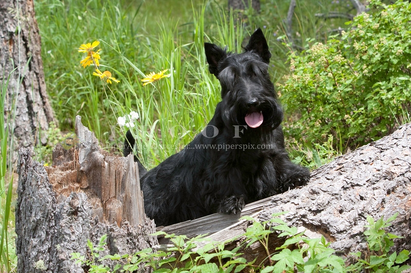 Purebred  Scottish Terrier