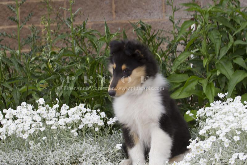 Purebred  Collie