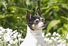 Purebred Toy Smooth Fox Terrier