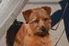 Purebred  Norfolk Terrier