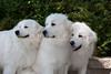 Purebred  Great Pyrenees