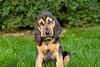 Purebred  Bloodhound
