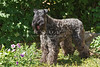 Purebred Kerry Blue Terrier