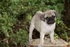 Purebred  Pug