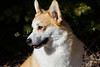 Purebred, Pembroke Welsh Corgi, Red & White