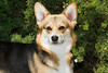 Pembroke Welsh Corgi, Tri Color