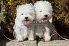 Purebred  West Highland White Terrier