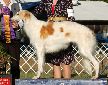 Best of Breed  CH. SYLVAN TOPANGA CANYON. HP 28717404. 01-12-08 			 By DC Sylvan Seabury Virago SC - Sylvan Amunet SC. Bitch. Owner: Christopher & Patti Neale Breeder: Owners