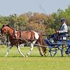 Phillip Needs of Sarasota Florida drives Welsh/Thoroughbred cross pony.