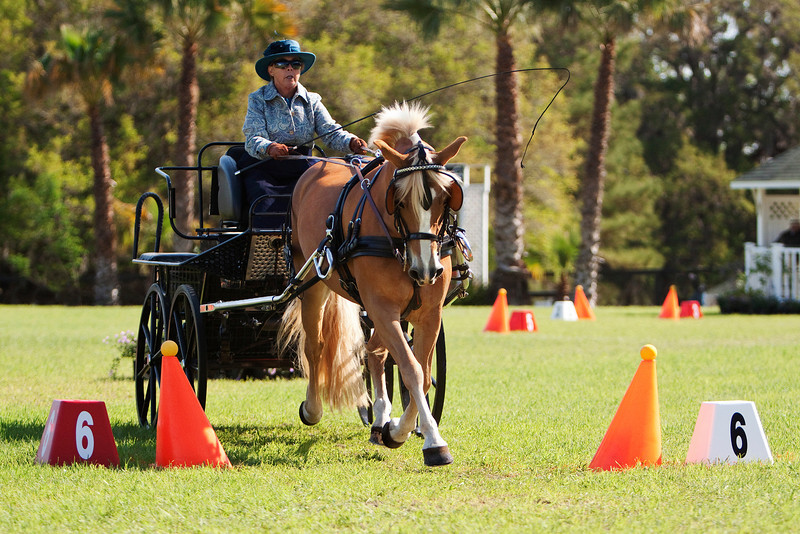 Halflinger pony driven by Charlotte Trentelman of Anthony, Florida.
