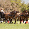 Dutch carriage horses driven by Deb Laberoute of Calgary, Canada.