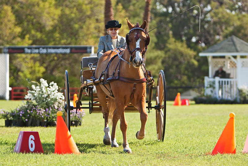 Morgan pony driven by Linda Fritschle of Sarasota, Florida