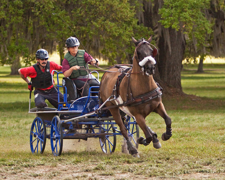 Morgan/Welsh cross pony driven by Sara Schmitt of Glen Gardner, New Jersey.