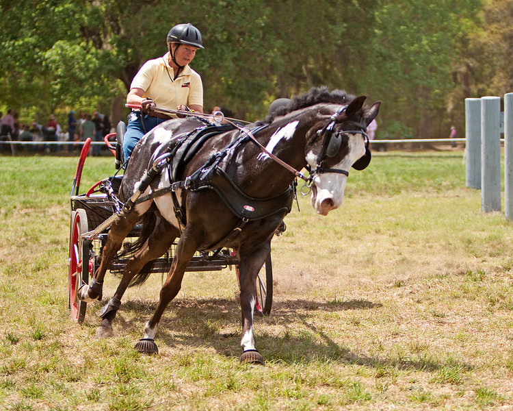 American Paint pony driven by Marilea Keating of Aiken, SC