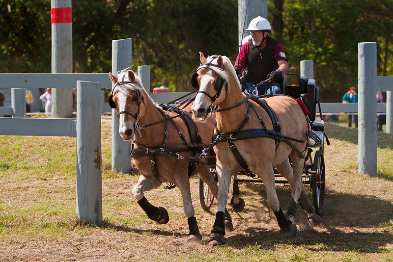 Haflinger pair driven by Ray Mansur of Windsor, NC.
