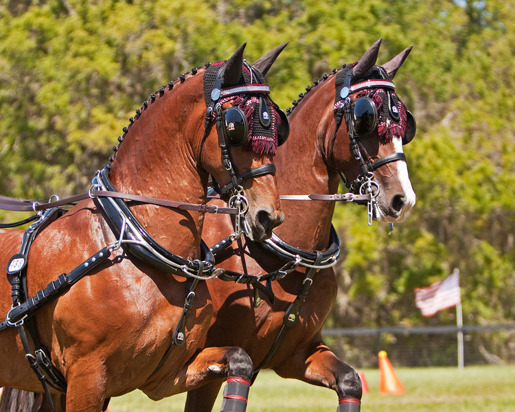 Chester Weber's lead pair of Four-In-Hand of Dutch horses KWPN.