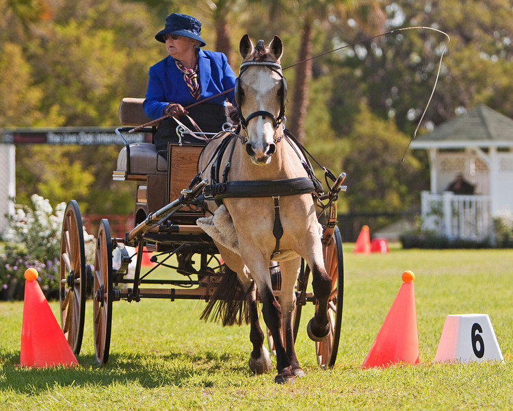 Connemara Pony driven by Dona Love of Morriston, Florida