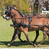 Dartmoor pony pair driven by Linda Yutzy of Brenham, Texas