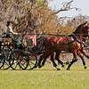 Dutch Harness horses driven by Misdee Wrigley Miller of Paris, Kentucky.