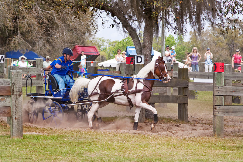 Morgan Cross pony driven by Suzy Stafford of Wilmington, Deleware.