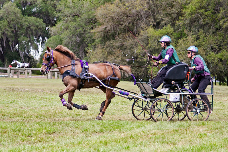 Welsh Cob driven by Barbara Sims of Prescott, Arizona