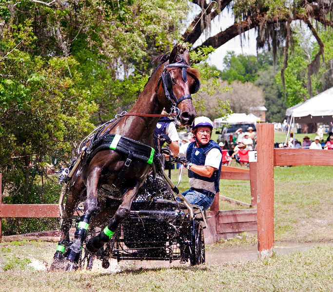 Morgan horse driven by Jan Jan Hamilton of Alva, Florida.