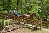 Friesian/Holsteiner crossbred horse driven by Bill Peacock of Bellville, Texas.