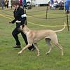 Great Dane Best of Breed 07 10 2010-11