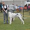 Great Dane Winners Dog 07 10 2010-05