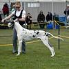 Great Dane Winners Dog 07 10 2010-01