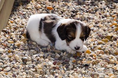 Kooikers Pups 5 Wks 2018-0122