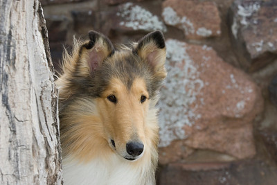 1_5985_Collie_MH_PAW