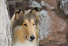 1_5980_Collie_MH_PAW