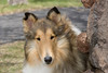 1_5945_Collie_MH_PAW