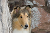 1_5979_Collie_MH_PAW