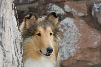 1_5978_Collie_MH_PAW