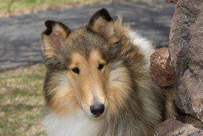 1_5944_Collie_MH_PAW