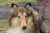 1_5941_Collie_MH_PAW