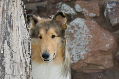 1_5982_Collie_MH_PAW