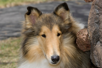 1_5942_Collie_MH_PAW