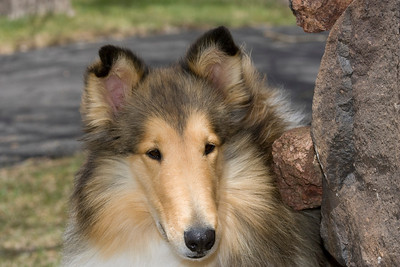 1_5947_Collie_MH_PAW