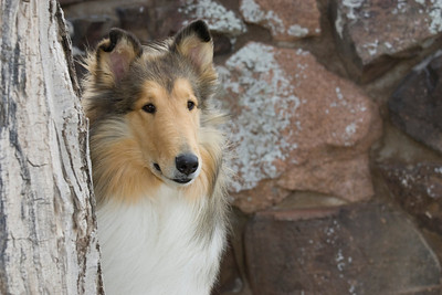1_5974_Collie_MH_PAW