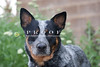 Purebred  Australian Cattle Dog