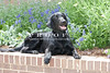 Purebred Flat Coat Retriever