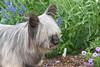 Purebred Skye Terrier
