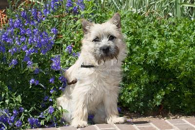 Purebred Carin Terrier
