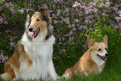 Purebred  Collie Sable and White,