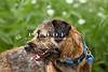 Purebred Border Terrier
