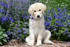 Purebred  Golden Retriever