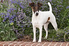 Purebred  Smooth Fox Terrier